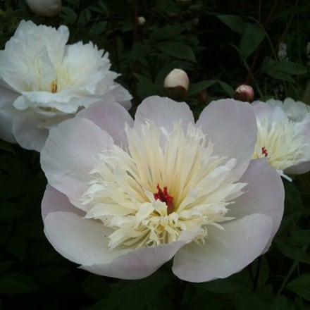 Paeonia lactiflora Immaculee