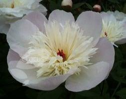 Paeonia lactiflora Immaculee