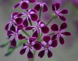 Pelargonium Lawrenceanum