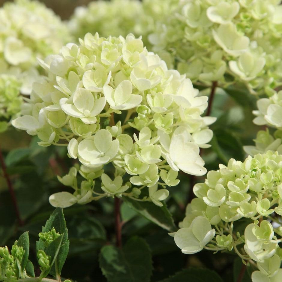 Lovely Buy hydrangea Hydrangea paniculata Bombshell (PBR): £15.99  LR01