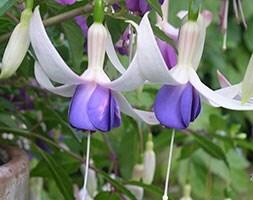 hardy fuchsia  (syn  Fuchsia Deltas Sarah )