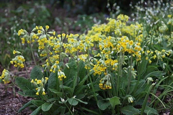 Buy Cowslip Primula Veris 163 5 99 Delivery By Crocus