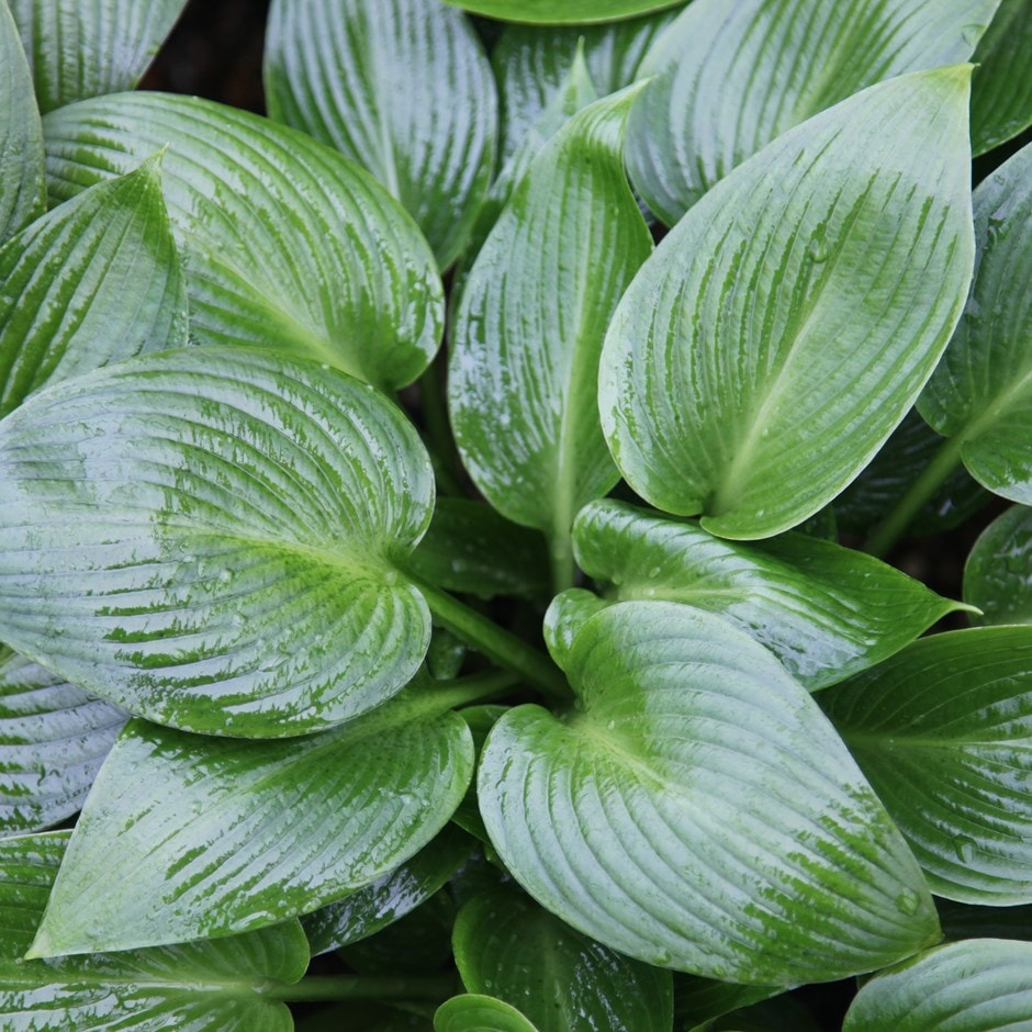 Buy Plantain Lily Hosta Devon Green 163 7 99 Delivery By Crocus