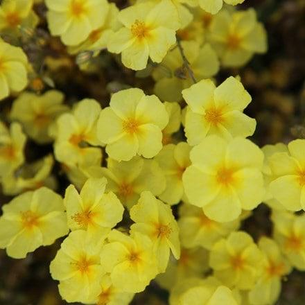 Helianthemum Wisley Primrose