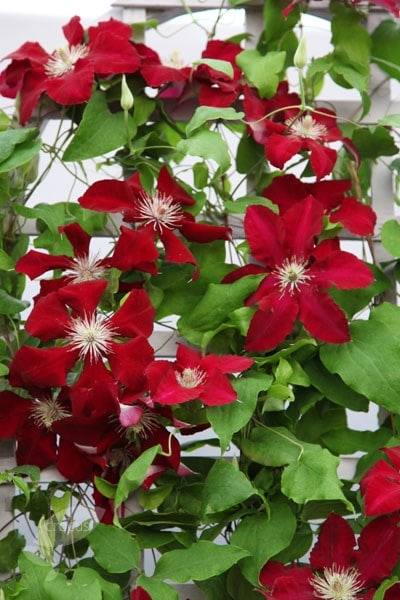 buy clematis group 2 clematis rebecca evipo016 pbr