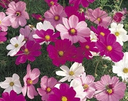 Cosmos Sonata Hot Pink Mixed
