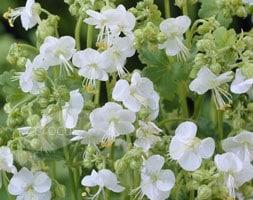Geranium macrorrhizum White-Ness
