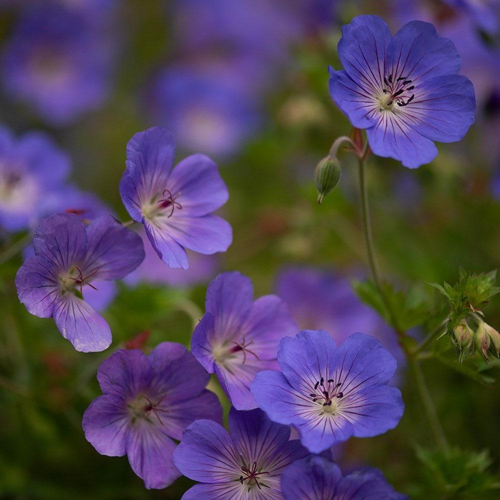 HARDY PERENNIAL GERANIUM     LIGHT PINK CRANESBILL   OVER-WINTERED PLANT 2LT POT