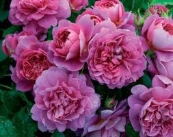 rose Princess Anne (shrub)