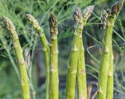 asparagus Guelph Millennium F1 hybrid crowns