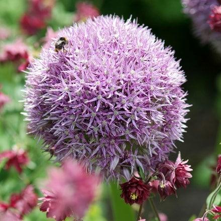 Allium Round n Purple