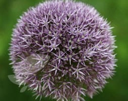 ornamental onion bulb (syn  Round and Purple )