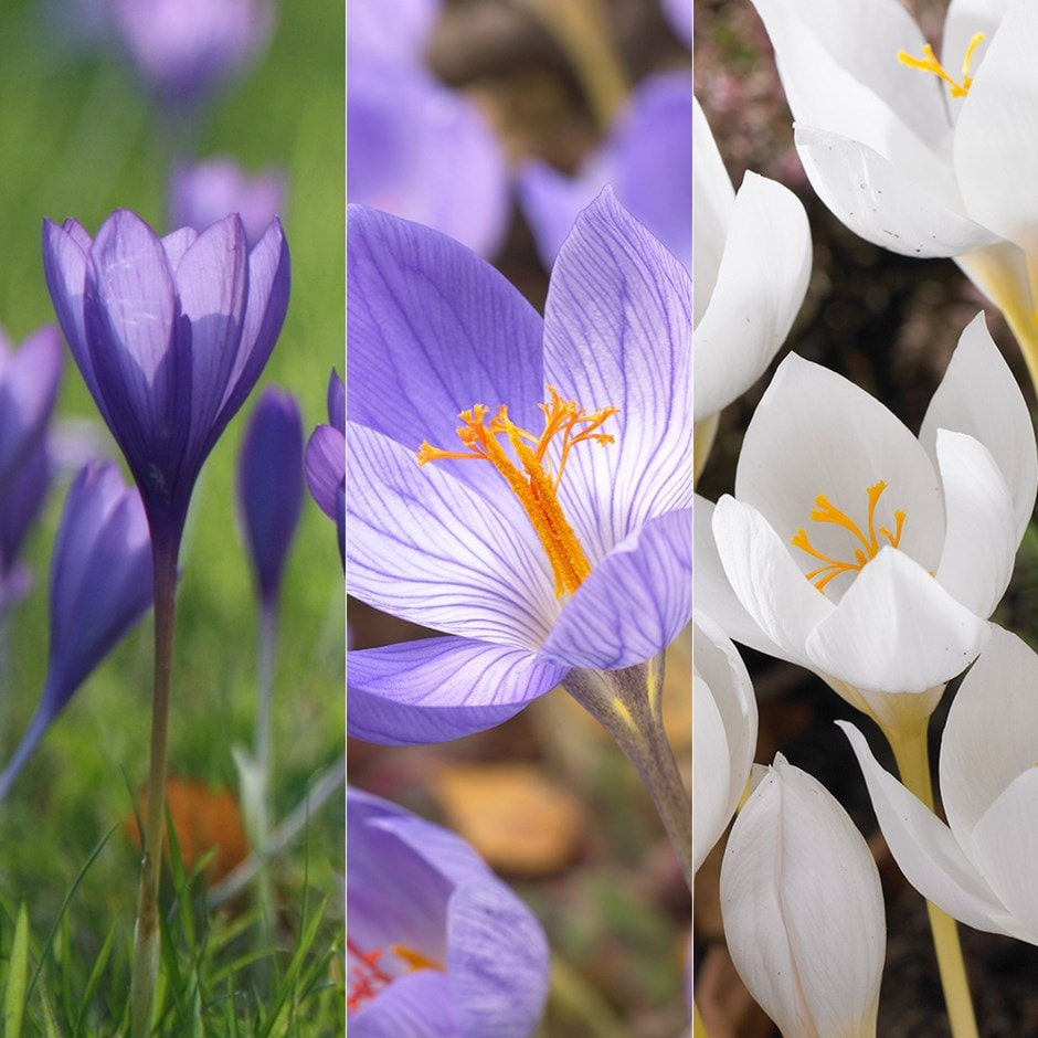 Buy crocus collection autumn flowering crocus collection 999 autumn flowering crocus collection mightylinksfo