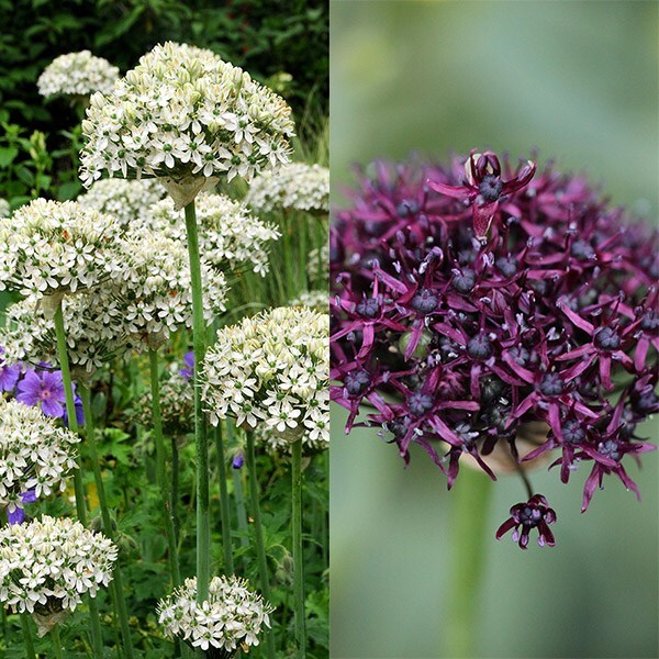 Chelsea Jewelled Allium collection