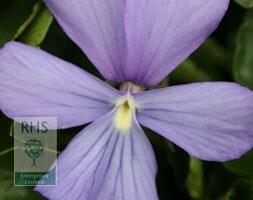 violet (syn. Viola Boughton Blue)