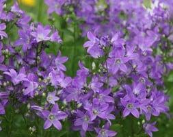 Campanula lactiflora Prichard's Variety
