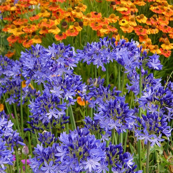 Buy African Lily Agapanthus Northern Star Pbr 163 8 99