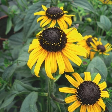 Rudbeckia fulgida Early Bird Gold