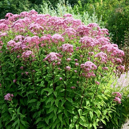 Eupatorium maculatum (Atropurpureum Group) Purple Bush