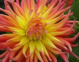 semi-cactus dahlia tuber