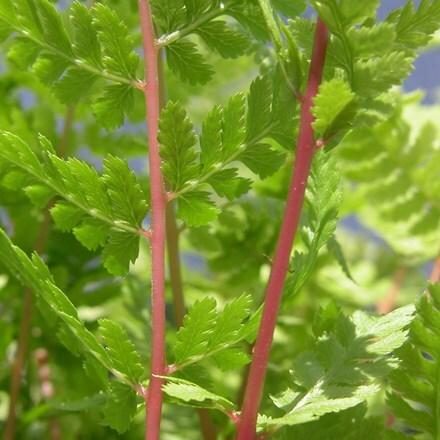 Athyrium filix-femina subsp. angustum f. rubellum Lady in Red