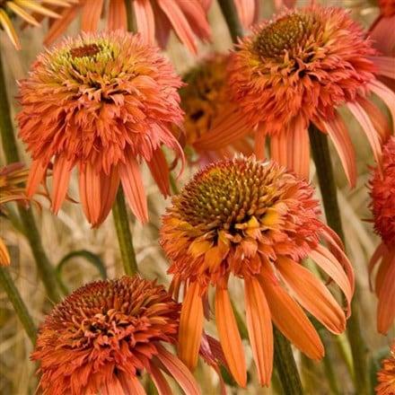 Echinacea Irresistible (PBR)