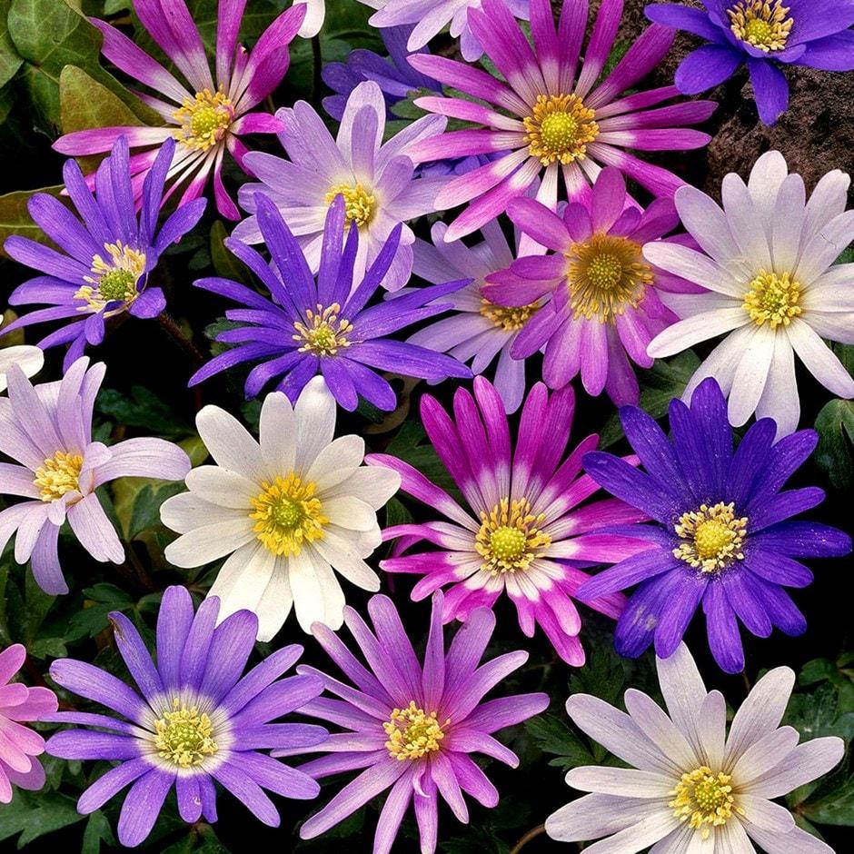 wood anemone bulbs