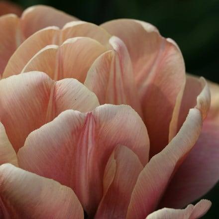 Tulipa La Belle Epoque