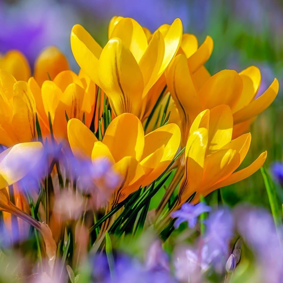 Buy Crocus Bulbs Crocus Luteus Golden Yellow 499 Delivery By Crocus