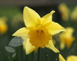 Narcissus Rijnveld's Early Sensation