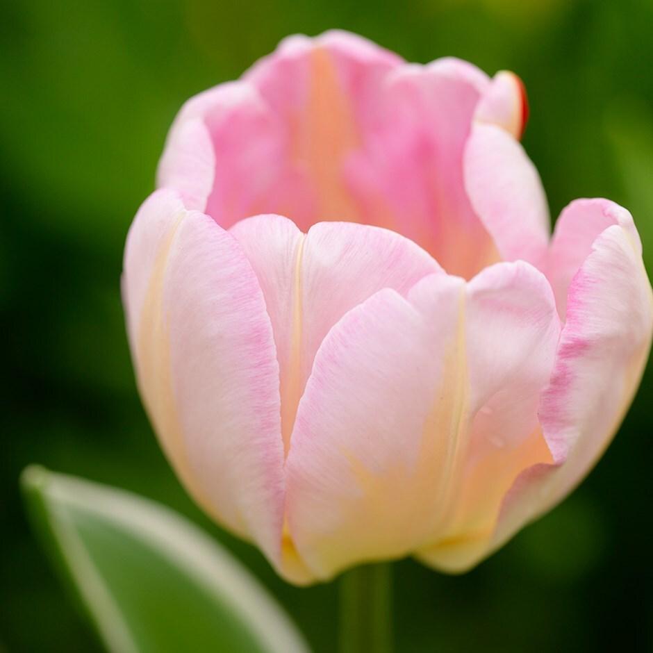 Buy Triumph Tulip Bulbs Tulipa New Design 163 3 99 Delivery