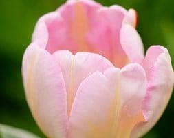 Tulipa New Design