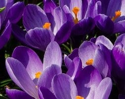 Dutch crocus bulbs