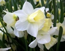 jonquilla daffodil bulbs