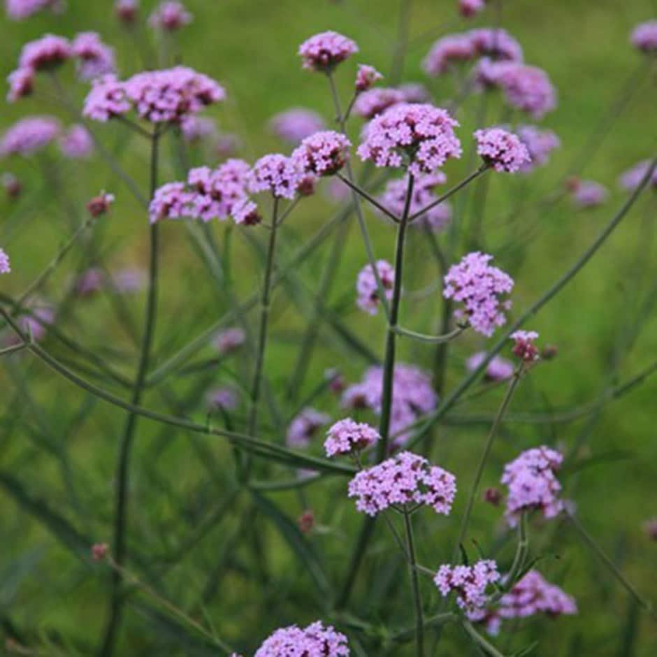 Buy verbena Verbena bonariensis Lollipop (PBR): £6.99 ... Verbena Plant