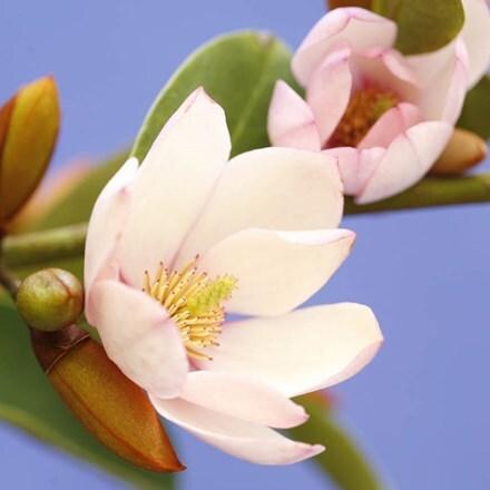 Magnolia Fairy Blush ('MicJur01') (PBR)