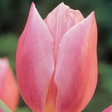 Tulipa Early Glory