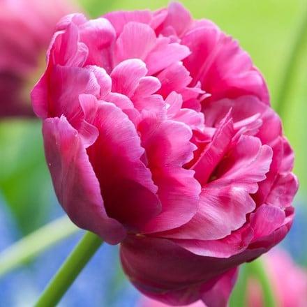 Tulipa Margarita