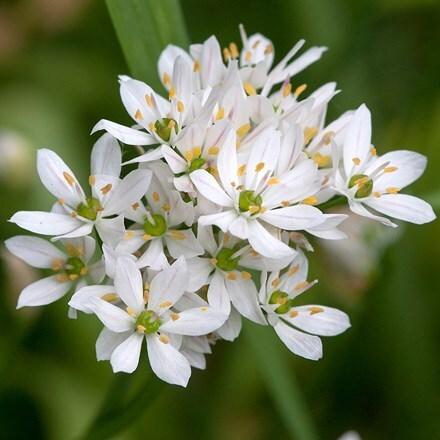 Allium neapolitanum Cowanii Group