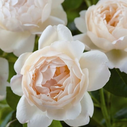 Rosa Wollerton Old Hall ('Ausblanket')  (PBR)