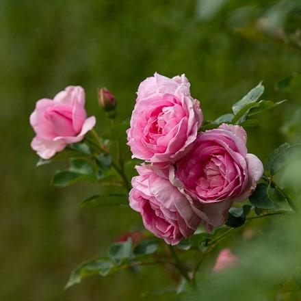 Rosa Mum in a Million ('Poulren013') (PBR)