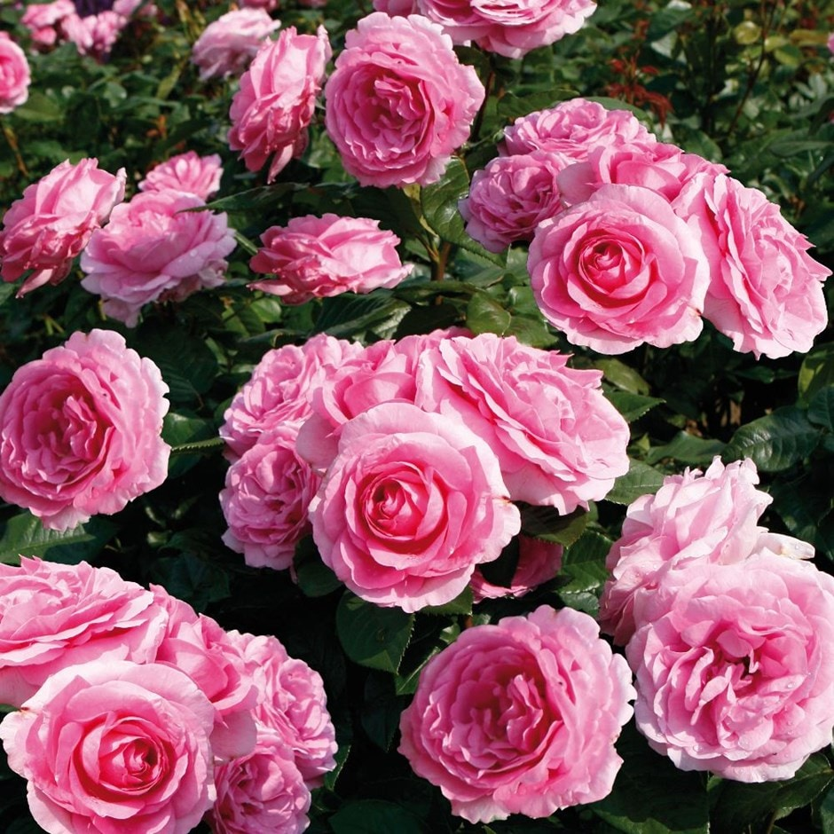 rose Mum in a Million (syn Mille) (hybrid tea rose)