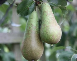 pear Conference - fan trained