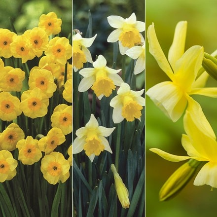Award winning scented miniature daffodils