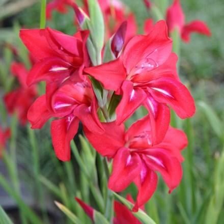 Gladiolus Robinetta (recurvus hybrid)