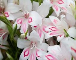 gladioli bulbs