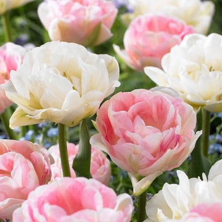 Tulipa Mount Tacoma & Tulipa Angelique