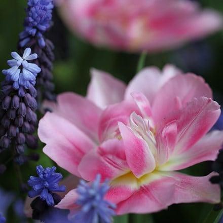 Tulipa Peach Blossom & Muscari latifolium