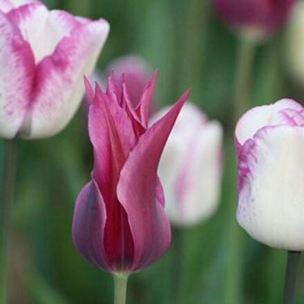 Tulipa Maytime & Tulipa Shirley