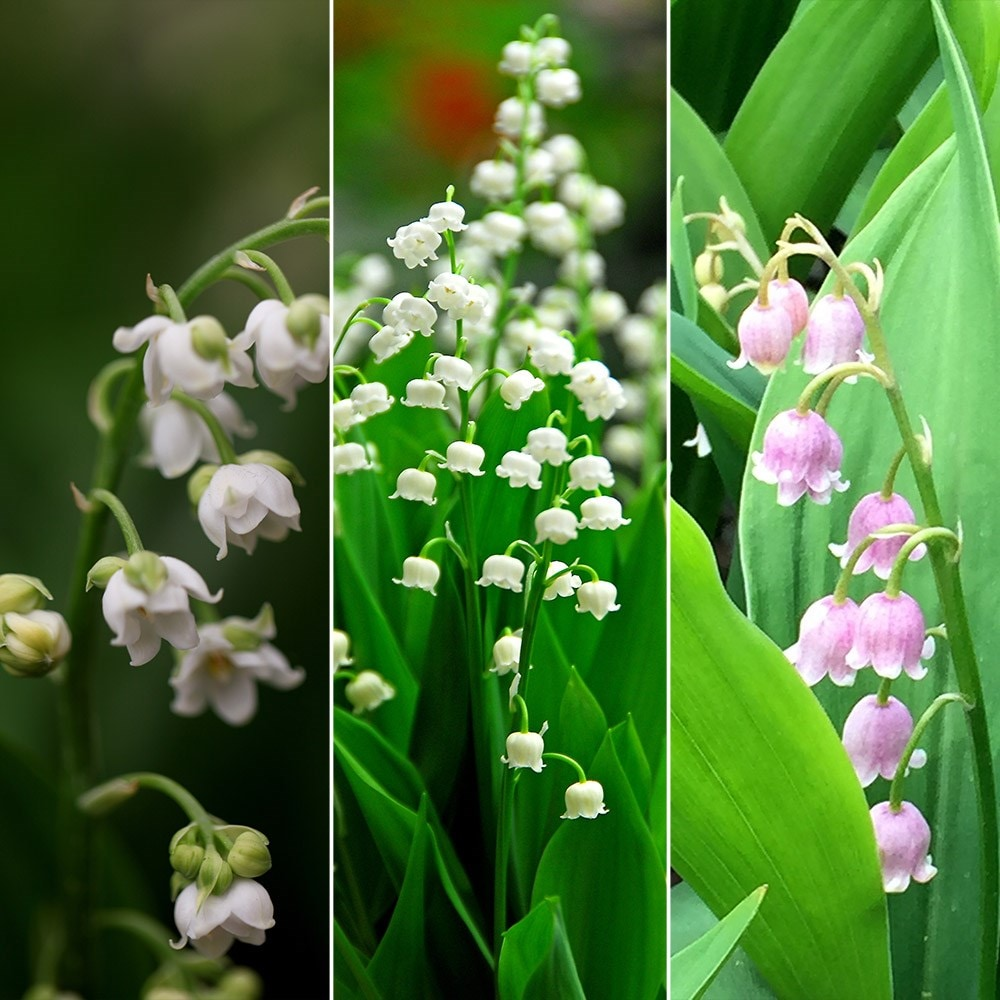 10 x Lily Of The Valley Plants Budding Root Sections Free UK postage